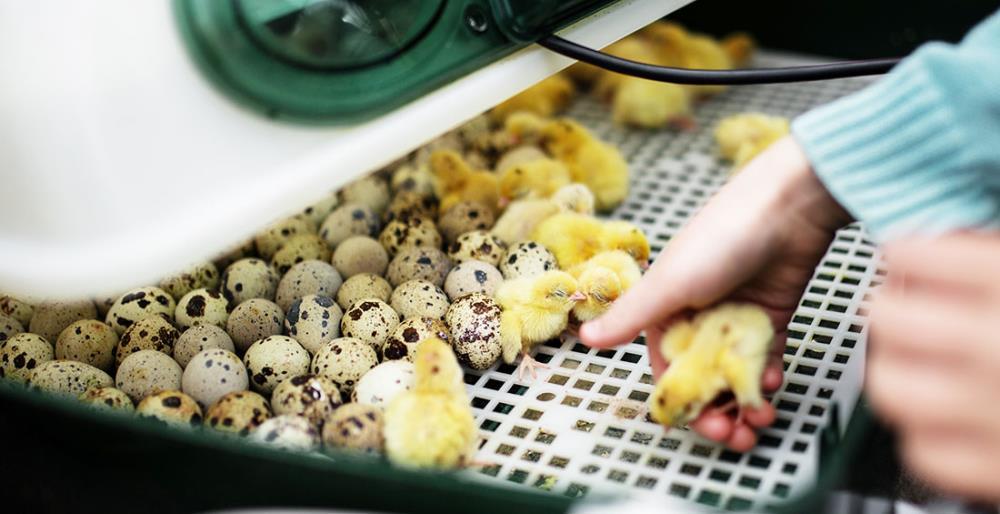 Come usare un'incubatrice per uova: tutto quello che devi sapere