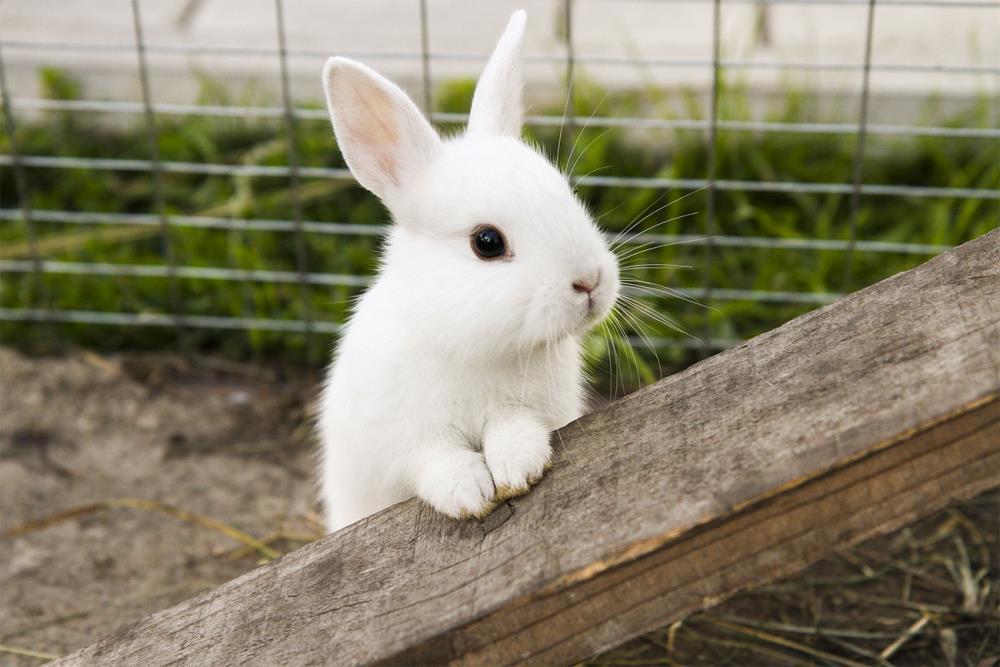 La riproduzione del coniglio: gravidanza e nascita