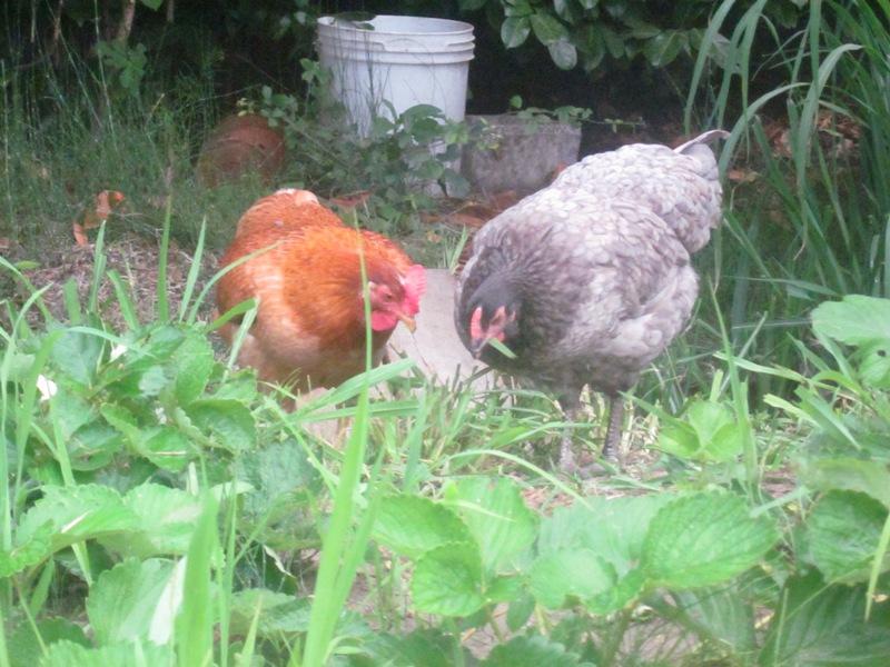 Prima deposizione il primo uovo di una delle nostre galline for Il verde mondo