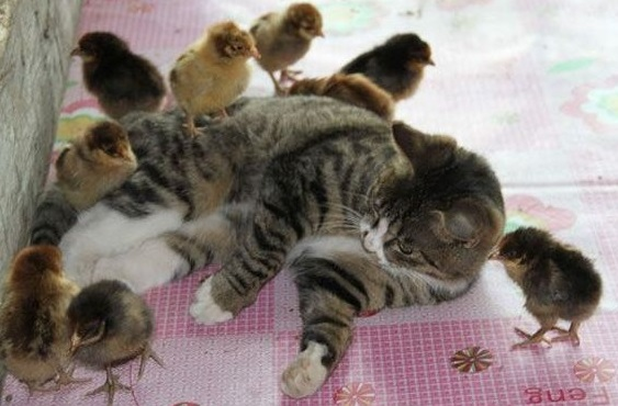 Galline nel pollaio con altri animali domestici si pu for Allontanare i gatti
