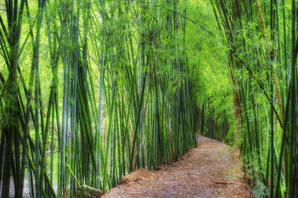 Bamb gigante in italia nuove coltivazioni da reddito for Bamboo coltivazione