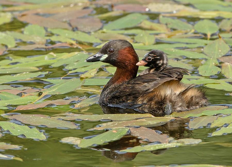Ecco come allevano i propri piccoli gli uccelli for Animali da stagno