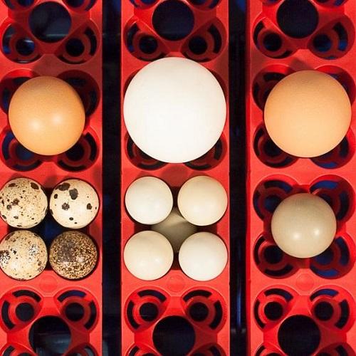 sistema di contenimento uova in incubatrice