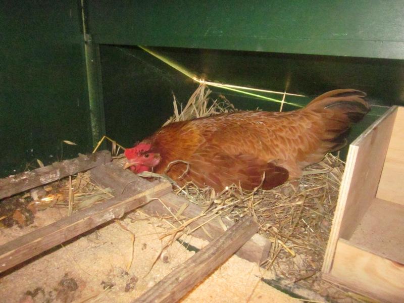 Cosa fare se avete una chioccia in un pollaio in legno for Pollaio fai da te